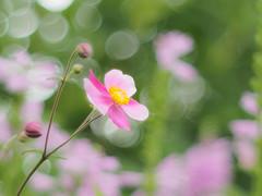 秋明菊 Japanese anemone (Tomo M) Tags: シュウメイギク japan tokyo bokeh light pink petal outdoor soft autumn pentacon