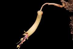 Correa lawrenceana var. glandulifera (andreas lambrianides) Tags: correalawrenceanavarglandulifera mountaincorrea rutaceae australianflora australiannativeplants nsw qld