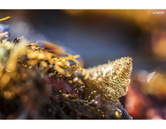 Golden Treasure (red stilletto) Tags: oceangrove oceangrovebeach bellarinepeninsula oceanbeach summer sunrise seaweed