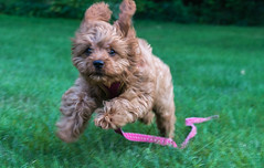 Faster than a speeding bullet... (tquist24) Tags: cavapoo goshen indiana nikon nikond5300 sicily cute dog floppyears grass green home lawn leash pink play puppy running speed yard