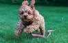 Faster than a speeding bullet... (tquist24) Tags: cavapoo goshen indiana nikon nikond5300 sicily cute dog floppyears grass green home lawn leash pink play puppy running speed yard
