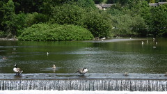 Wild day on the Wye,   Bakewell   July 2017 (dave_attrill) Tags: geese river wye bank bakewell july 2017 peak district derbyshire ducks town centre riverbank life wildlife water