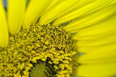 "52 Weeks - 2017 Edition - Week 31- Topic - Yellow (norasphotos4u) Tags: flowersplants canonef100mmf28lisusmmacro 52weeks2017edition flowers macro social ©noraleonard canon6d ""week312017 52weeksthe2017edition weekstartingsundayjuly302017 yellow"" 100xthe2017edition 100x2017 image58100"