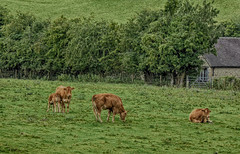 27vii2017 Stokesay 23 (garethedwards36) Tags: cow calf cattle brown green grass hedge field stokesay castle uk shropshire lumix