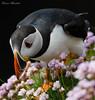 Puffin, Noss, Shetland June 2017 (conrad_hanchett) Tags: puffin noss shetland shetlandislands nossshetland nikond500 sigma150600sport june tammienorrie