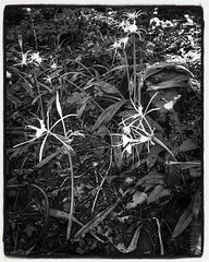 Wild flowers beneath the trees. Pinhole preview. More to come! (probusphotos) Tags: bnwplanet bnwsociety fotografia landscape flowers wildflower ifttt instagram
