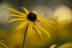 Rudbeckia (Patrice StG) Tags: québec fleur flower bokeh vintagelens jaune yellow gimp dusk crépuscule macro softness douceur doux soft sony a6000 nikkors55mmf12 55mmf12s