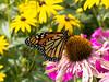 Papillon monarque / Monarch butterfly (Mad Blike) Tags: canon canong12 ccd ccdsensor capteurccd compact compactexpert fleurs flowers éclatant shining papillon papillonmonarque butterfly monarchbutterfly