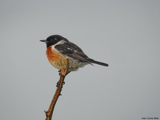 Common Stonechat
