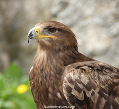 Aigle (fauneetnature) Tags: aigle eagle oiseaux oiseau birds bird animalier rapace ornithologie ornithology