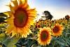 2017-08-24_01-01-26 (nouailleric) Tags: tournesol soleil fleurs tourisme champs charentes larochefoucault cultures canon eos500d jaune nature naturephotographie vacances travel efs1022usm france