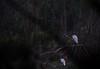 Lingering Near Sunrise (smfmi) Tags: birds fowl frohm greategrets michigan midlandcounty pentax ks2 justpentax pentaxlife roostingegrets roostinggreategrets