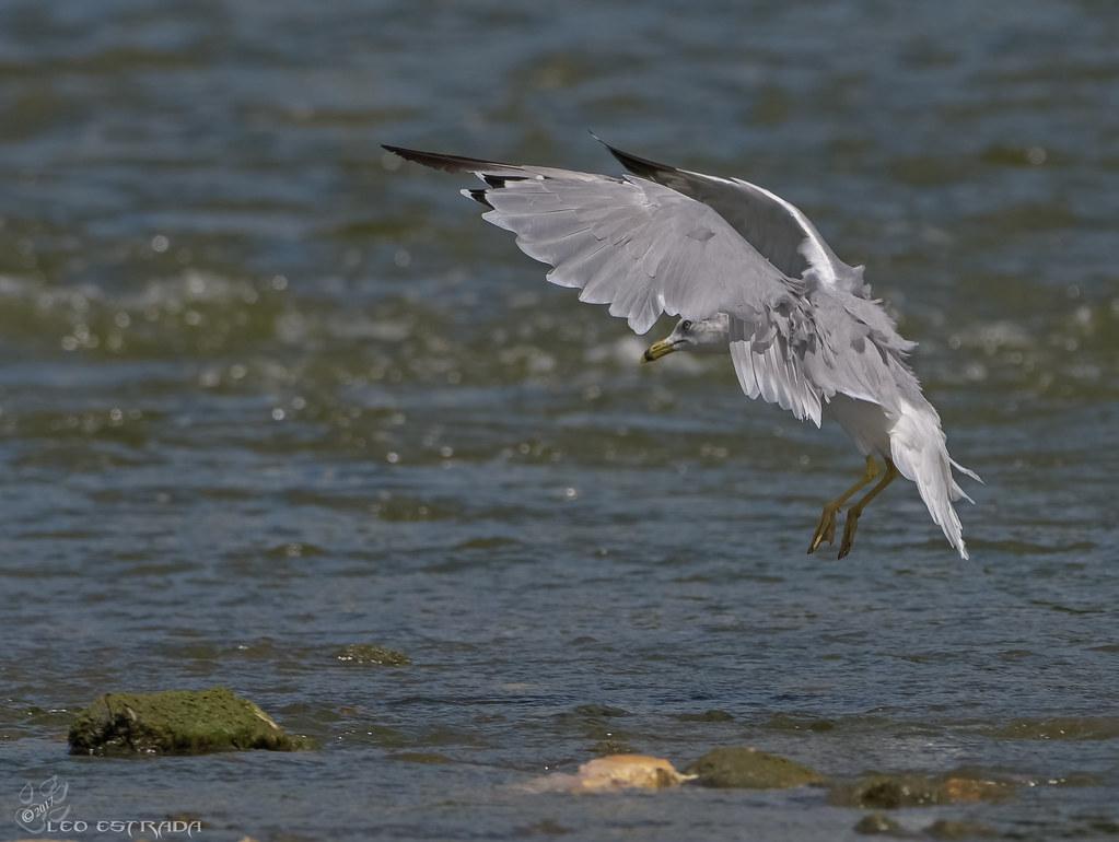 Gull Island Dead Duck
