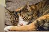 Schnucks schläft auf dem Sofa (redawoiedgar) Tags: katzen katze cat tier d5300 nikon goslar niedersachsen deutschland sofa wohnzimmer schlafen sleep träumen sweet dreams