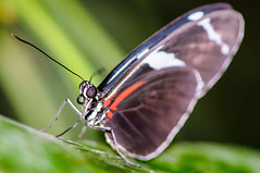 Butterfly (Fili1939) Tags: butterfly farfalla insect macro eyes leaf nature nikon nikkor 105mm d300 ng national geographic close up wings fly sky beauty