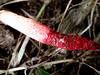Phallus rubicundus (Bosc) Fr. (Ahmad Fuad Morad) Tags: phallusrubicundus basidiomycota phallaceae stinkhorn