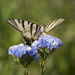 Poste d'observation ** (Titole) Tags: flambé butterfly limoniumsinuatum blue shallowdof papillon titole nicolefaton squareformat scarceswallowtail thechallengefactory