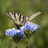 Poste d'observation **--- ° (Titole) Tags: flambé butterfly limoniumsinuatum blue shallowdof papillon titole nicolefaton squareformat scarceswallowtail thechallengefactory