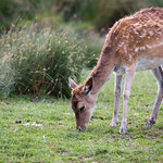 Fallow deer thumbnail