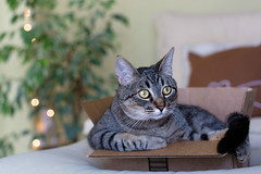 don't really fit, don't care (catklein) Tags: cat box tabby callie cute