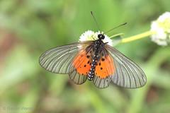 IMG_2961 Acraea quirina (Raiwen) Tags: nymphalidae heliconiinae butterflies moyenneguinée guinea westafrica africa savanna greenland acraea acraeaquirina