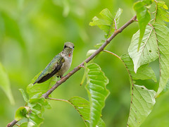 Ruby throated hummingbird - juvenile male (Nature as Art Photography) Tags: hummingbird patuxentresearchrefuge