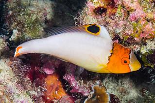 Spotted Parrotfish, juvenile - Cetoscarus ocellatus