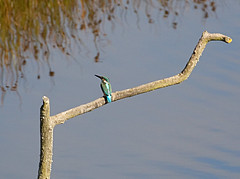 Kingfisher (georgehart64) Tags: canon70d canon scotland angus montrosebasin kingfisher ef100400mm f4556l is ii usm