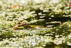 Pelophylax perezi (Ander Congil Ross) Tags: pelophylax perezi frog rana hiela castrelos vigo españa canon eos 7d wildlife naturaleza nature natura sigma sigmalens 18250mm fotografía macrophotography beauty green galicia