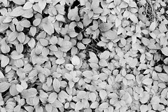 Ivy Vines (Helios 1984) Tags: agfarodinal agfarondinax rondinax35u rodinaldeveloper ilfordrapidfixer daylightloadingfilmdevelopingtank konicaminoltadimageiv dimageivscanner minoltascanner dimageiv ilfordfilm ilfordfp4 35mmcamera filmcamera filmphotography supermulticoatedtakumar50mmf14 supertakumar50mmf14 50mm supertakumar asahioptical asahipentax pentax pentaxhoneywell takumar m42 vintagelens manuallens spotmatic spotmaticii japanesecamera asahipentaxspotmatic ivy ivyvine hadera plant