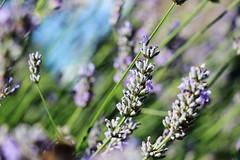 IMG_1255 (Gussyfinknottle) Tags: lavender lavande lavendel lavanda summer england britain beautiful garden nature outdoors garten jardin giardino