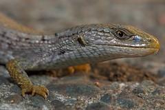 Northern alligator lizard. The most feared lizard of Vancouver island lolShawnigan lake bc (lee barlow) Tags: d7200 britishcolumbia canada elgariaprincipis leebarlow macro nikon northernalligatorlizard shawniganlake vancouverisland