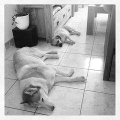 Canicule (karine_avec_1_k) Tags: basset husky chaleur heat canicule summer été chiens dogs