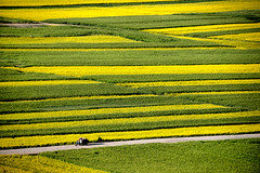 Rapeseed flowers and wheat field 油菜花麥田 (MelindaChan ^..^) Tags: qinghai china 青海 門源 rapeseed flowers wheat field 油菜花麥田 油菜花 麥田 花 麥 田 chanmelmel mel melinda melindachan agriculture plant farm farmer pattern life