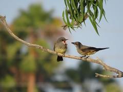Cassin's Kingbirds - Madrona Marsh (weezerbee9) Tags: