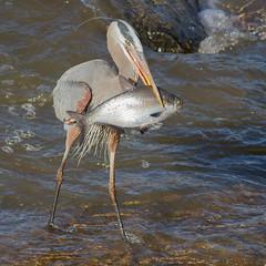 IMG_4016 Heron with fish (cmsheehyjr) Tags: cmsheehy colemansheehy nature wildlife bird heron greatblueheron floodwall jamesriver virginia ardeaherodias