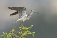 Lesser Yellowlegs on Spruce (www.studebakerstudio.com) Tags: lesser yellowlegs lesseryellowlegs tringa spruce dalton brooks alaska studebaker nature birds animal wildlife wings calling