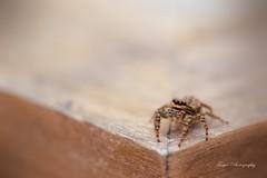 Creepy creature... or... funny friend!? (Maria Godfrida) Tags: smileonsaturday bizarrebugs bug spider insect closeup macro animals fauna nature creepy funny