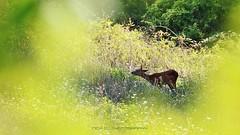 Timida presenza (_Nick Photography_) Tags: img5894 femminadicapriolo nickphotography bosco cacciafotografica wild wood canonef70300mmf456lisusm fauna appennino uppenninopiacentino excitingmeeting wildlife roe capriolo femaleroe