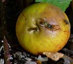 Take one rotting apple, a wasp and a fly ... (ronmcbride66) Tags: garden apple windfall rot wasp fly decay rottingapple fruit leaflitter bramble thorn