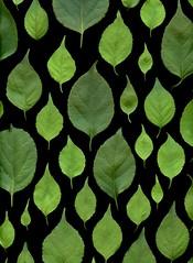 58481.01 Celastrus orbiculatus (horticultural art) Tags: horticulturalart celastrusorbiculatus celastrus bittersweet orientalbittersweet leaves pattern
