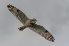Short-eared Owl (Tim Melling) Tags: asio flammeus shorteared owl peak district timmelling