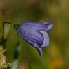 Harebell Campanula rotundifolia (stephenmulvaney) Tags: languageofflowers