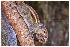 Urban adaptation (Aiel) Tags: indianpalmsquirrel threestripedpalmsquirrel funambuluspalmarum fpalmarum rodentia sciuridae funambulus rope nestingmaterial tree indiragandhimusicalfountain nationalmilitarymemorialpark bangalore bengaluru canon60d tamron70300vc