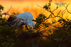 White Egret Tending Nest