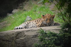 Awakens from sweet dreams | Young Amurleopard (Photography by Eric Hentze) Tags: amurleopard youngamurleopard leopard baby leipzig nature animal animale animalphotography animalplanet tierfotografie tier katze cat bigcat exotic exoticcat young itsazoooutthere outdoor zoo zooleipzig 2017 nikon nikond7100 d7100 erichentze carnivora felidae leoparduspardalis pantherapardusorientalis awake sweet colour