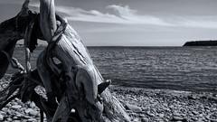 Driftwood (paul.wesson) Tags: atlanticcanada bw beach blackwhite canada day driftwood eastcoast easternpassage explorecanada explorens fuji fujixt1 igcanada igersnovascotia imagesofnovascotia landscape novascotia ocean ohcanada outdoor rocks stump tree visitnovascotia water yhz ns