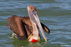 Our trash kills birds....... (Davy Garrido) Tags: pelícanocafé pelecanusoccidentalis brownpelican pelican pelícano mar canon 400l 400mm yucatan méxico basura trash