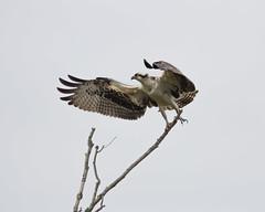 Osprey (Glen in Franklin County) Tags: osprey bird birdwatching talon birdofprey wings wingspan feather virginia smithmountainlake sml franklincounty tamron150600 canon60d wildlife river water aquatic fishing beak blackwaterriver