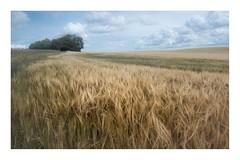 Sway (Sandra Draper) Tags: harvest wheat farm crop